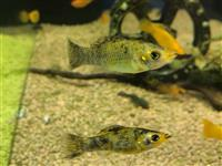 Molly gold/rot leopard - Poecilia sphenops var.