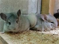 Chinchilla färbig - Chinchilla brevicaudata