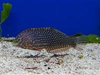 Ornament Lippfisch - Macropharyngodon ornatus